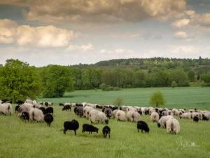 Heidschnucken auf der Weide