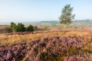 Die Heideregion zur Heideblüte im Morgenlicht
