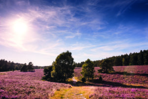 Die Heide zur Heideblüte
